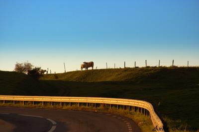 Kor i solnedgang