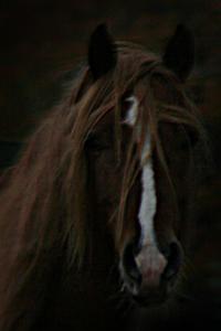 Häst på Gotland