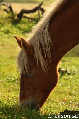 Betande häst påRavlunda